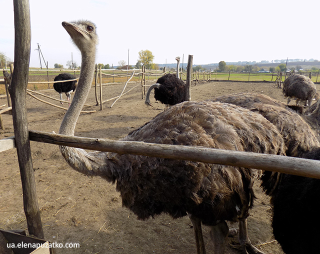 страусина ферма софійка